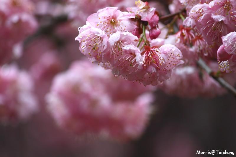 武陵農場粉紅櫻花季 (39)