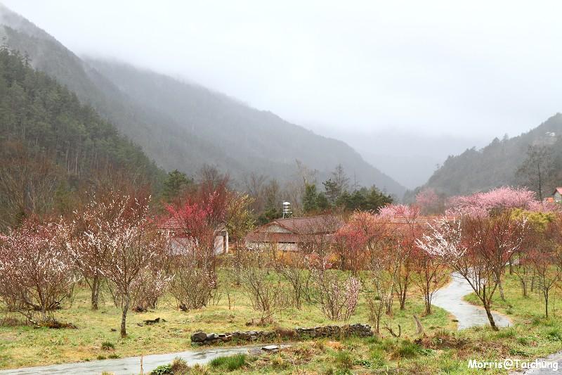 武陵農場粉紅櫻花季 (36)