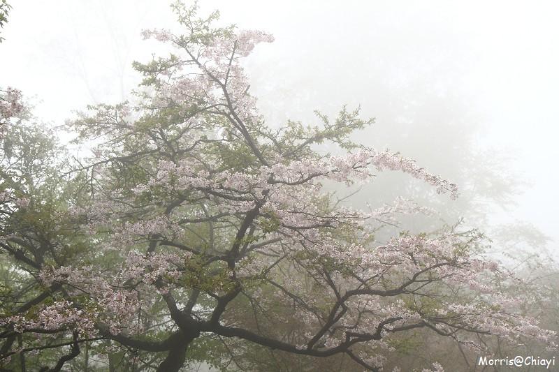 2011 阿里山櫻花季 (60)