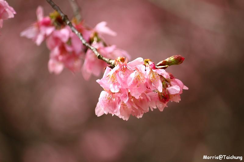 武陵農場粉紅櫻花季 (75)