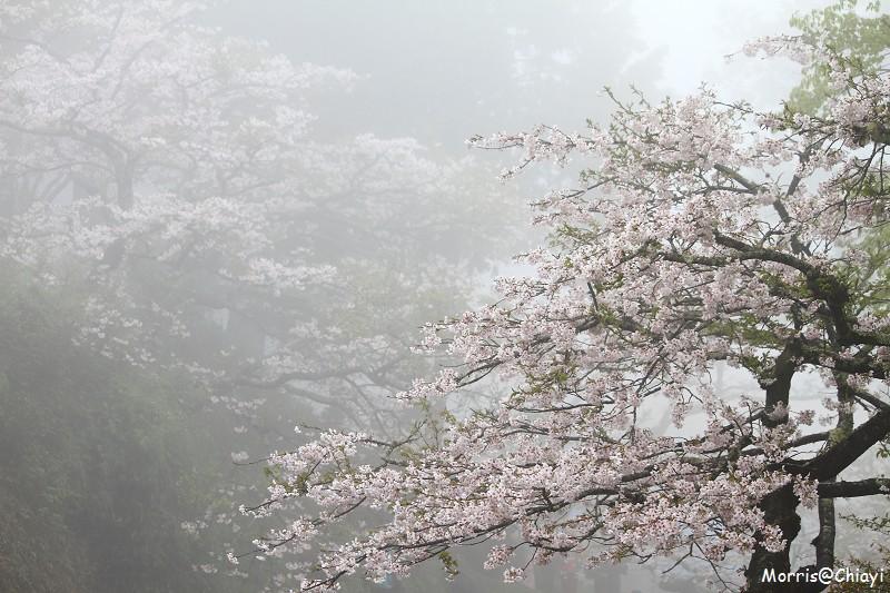 2011 阿里山櫻花季 (115)