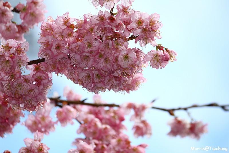 武陵農場粉紅櫻花季 (51)