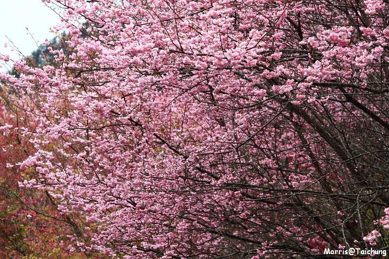 武陵農場粉紅櫻花季 (43)
