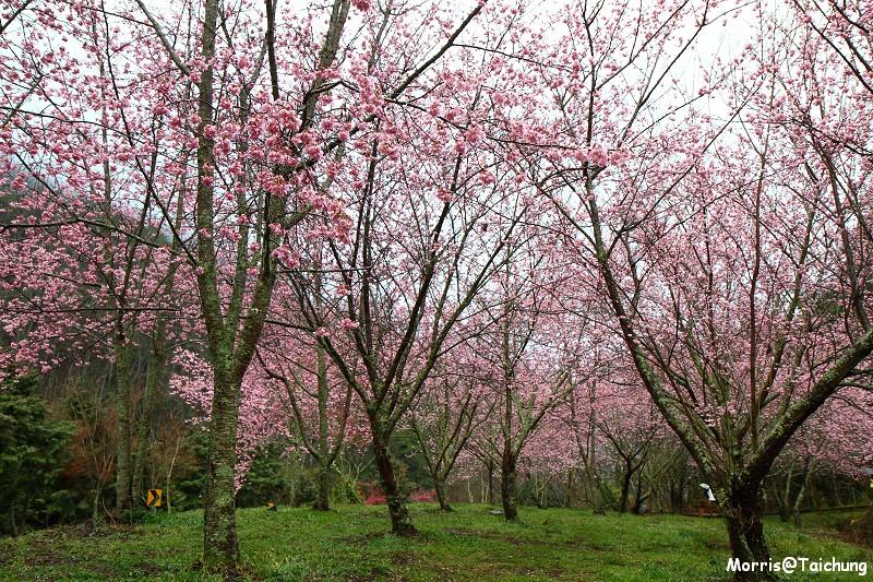 武陵農場粉紅櫻花季 (24)