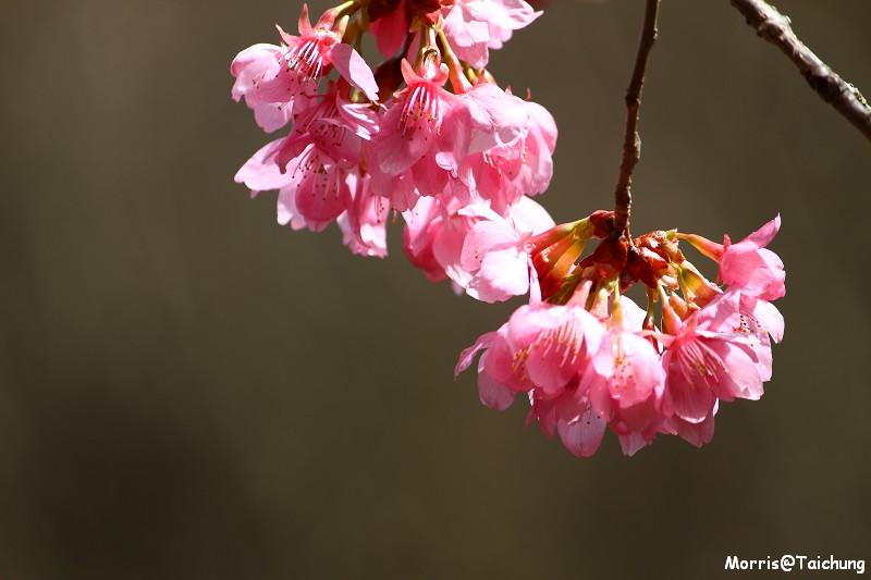 武陵農場粉紅櫻花季 (102)
