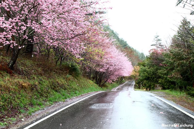 武陵農場粉紅櫻花季 (19)