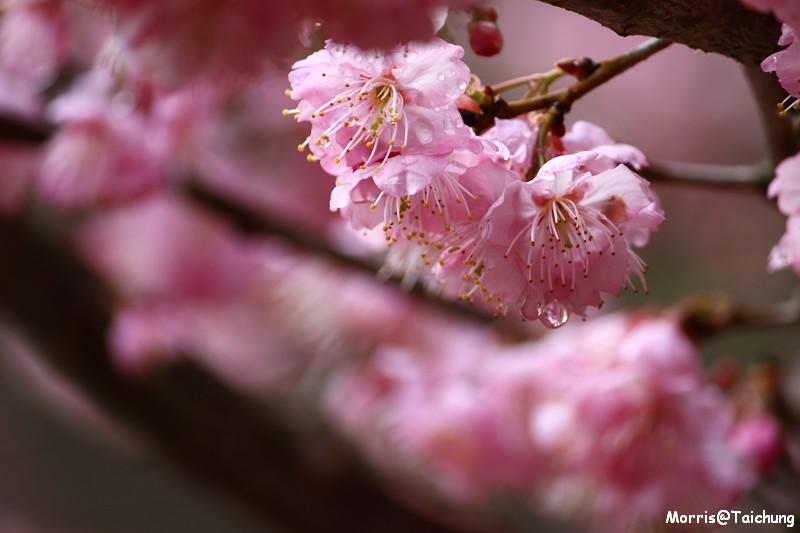 武陵農場粉紅櫻花季 (82)