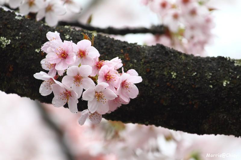 2011 阿里山櫻花季 (131)
