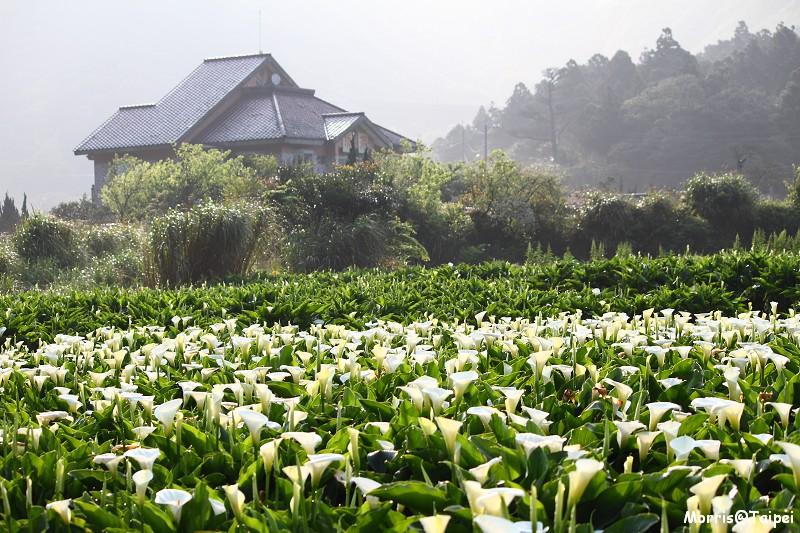 竹子湖海芋節 (2)