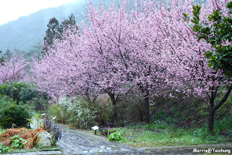 武陵農場粉紅櫻花季 (1)