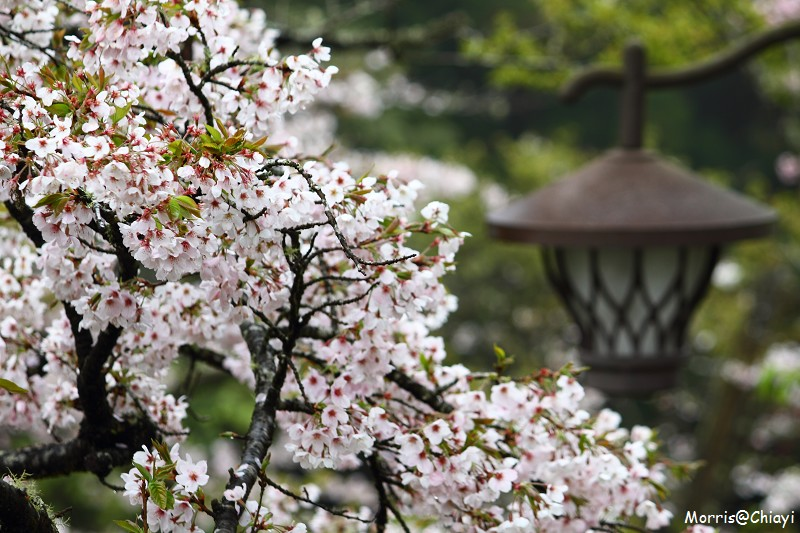 2011 阿里山櫻花季 (149)