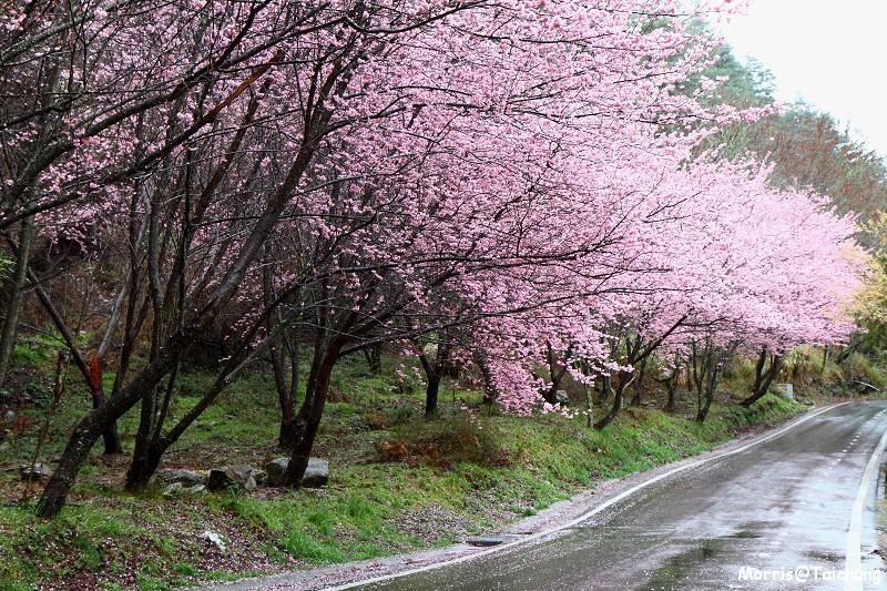 武陵農場粉紅櫻花季 (20)