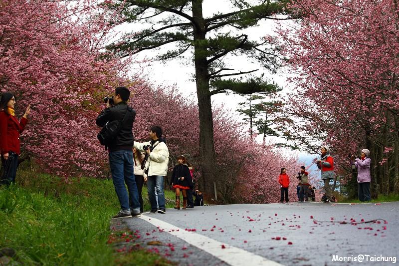 武陵農場粉紅櫻花季 (87)