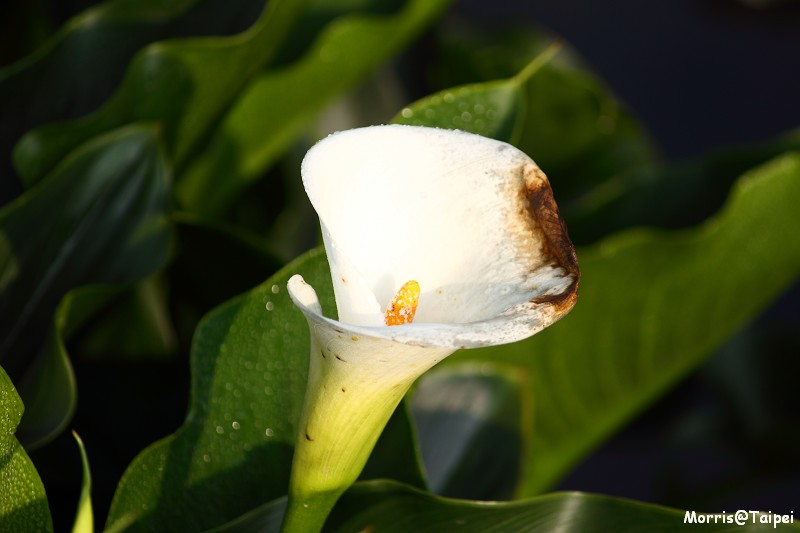 竹子湖海芋節 (27)