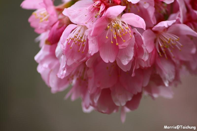 武陵農場粉紅櫻花季 (91)