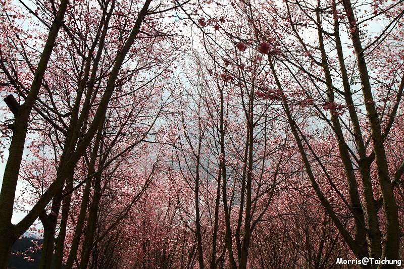 武陵農場粉紅櫻花季 (129)