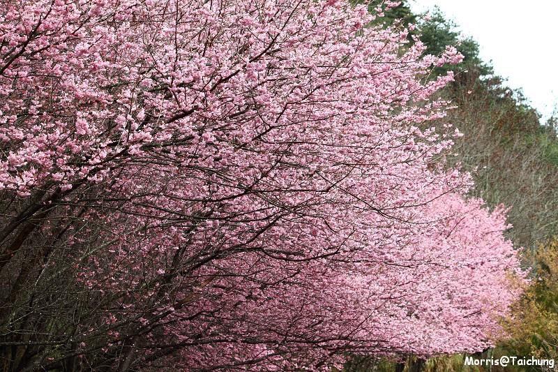 武陵農場粉紅櫻花季 (67)