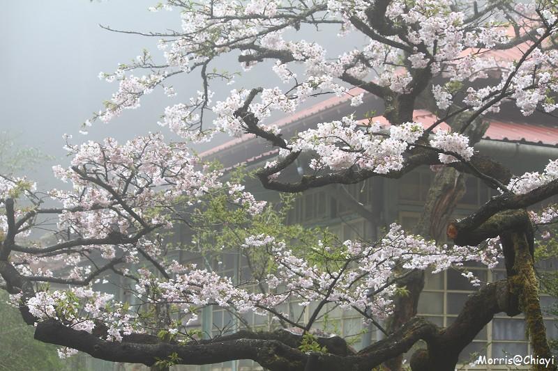 2011 阿里山櫻花季 (114)
