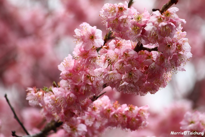 武陵農場粉紅櫻花季 (62)