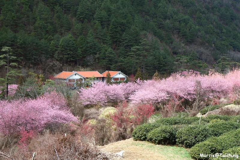 武陵農場粉紅櫻花季 (121)