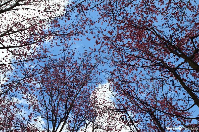 武陵農場粉紅櫻花季 (131)