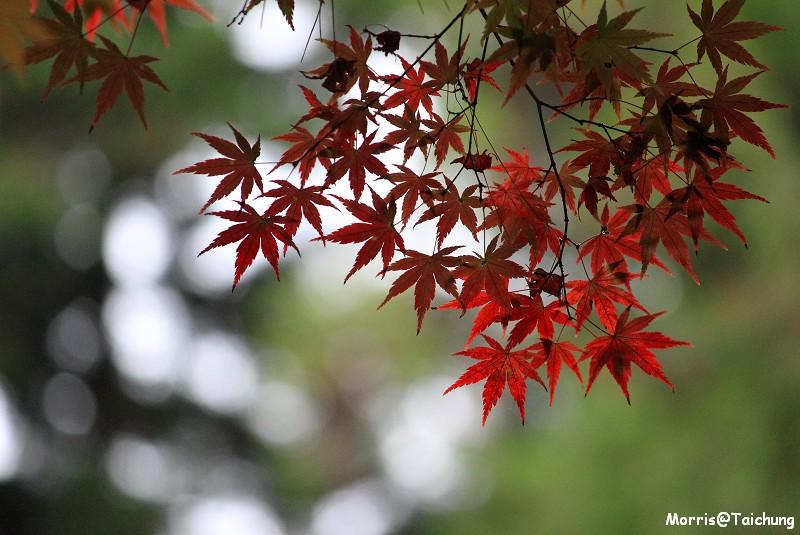 2011 福壽山楓葉 (52)