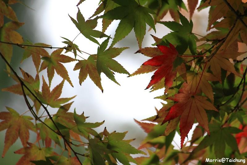 2011 福壽山楓葉 (33)