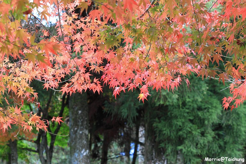 2011 福壽山楓葉 (21)