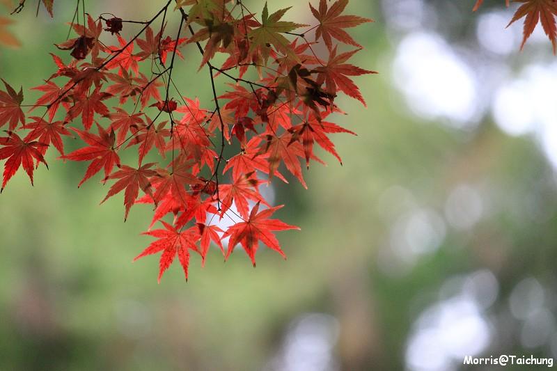 2011 福壽山楓葉 (67)