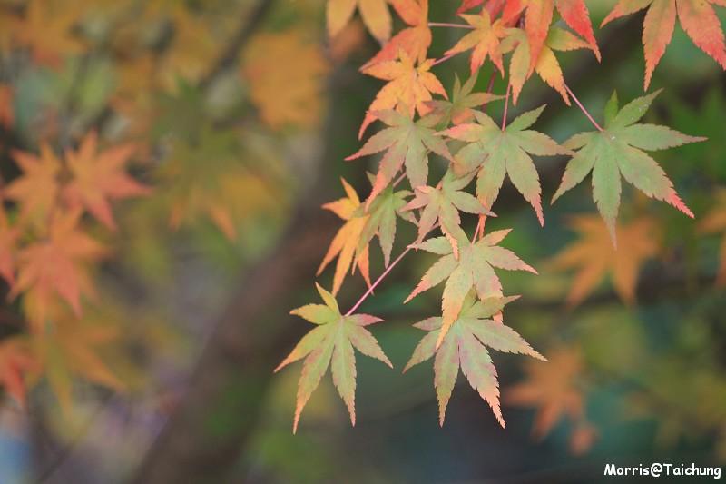 2011 福壽山楓葉 (5)