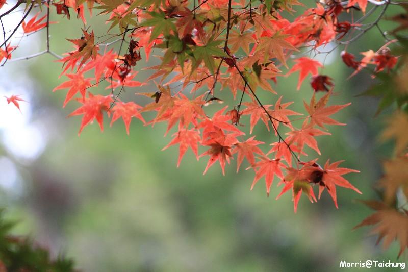 2011 福壽山楓葉 (68)