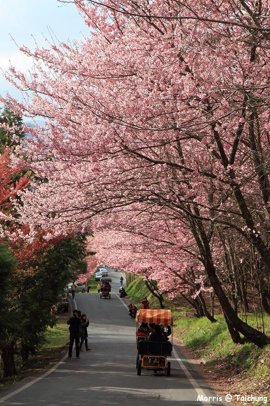 2012 武陵櫻花季 (33)