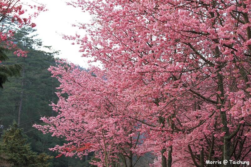 2012 武陵櫻花季 (11)