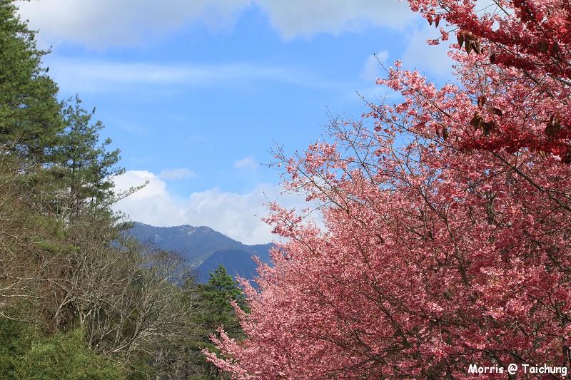 2012 武陵櫻花季 (72)