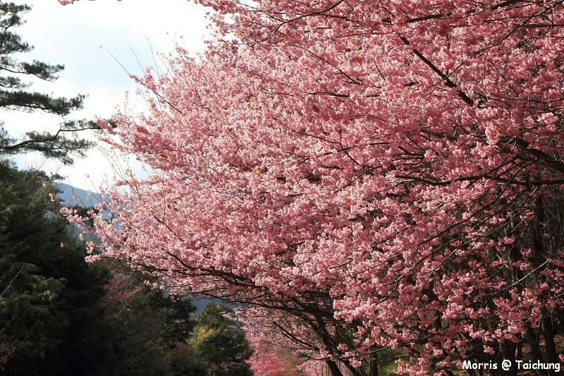 2012 武陵櫻花季 (37)