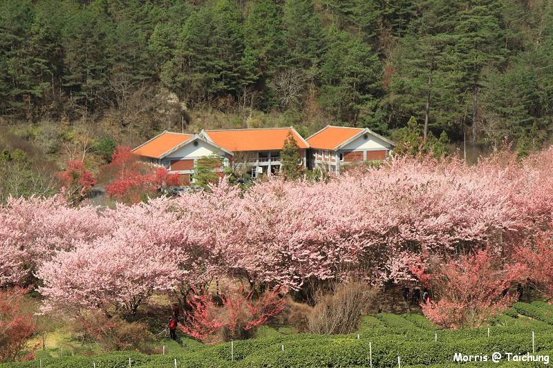 2012 武陵櫻花季 (86)