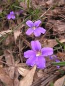 Purple fan flower: Scaevola ramosissima?