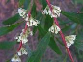 Hakea salicifolia (?)