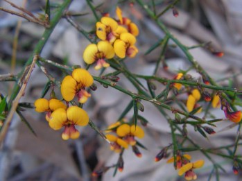 Daviesia ulicifolia: gorse bitter pea