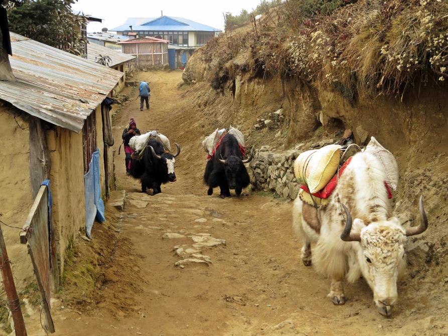 Yak, Himalaja