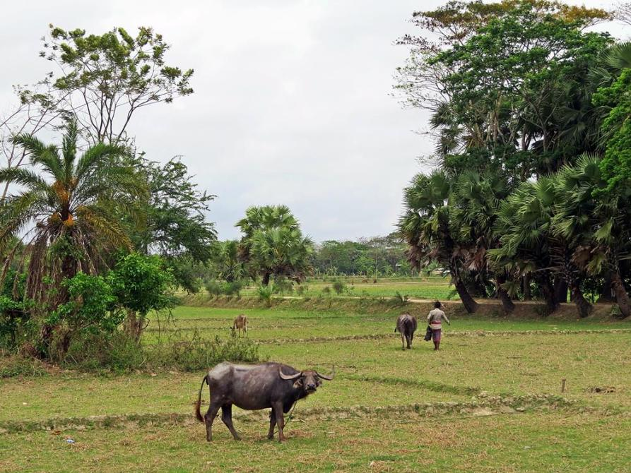 Wasserbüffel auf einem Feld in Bangladesch