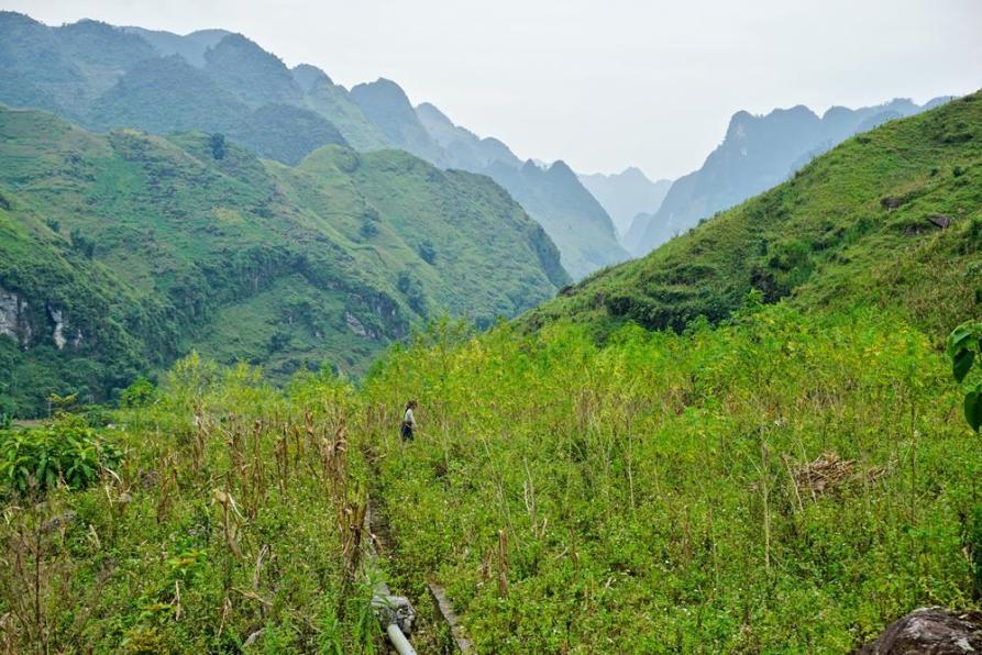 versteckte Hanfplantage in den abgelegenen Tälern der Ha Giang Region
