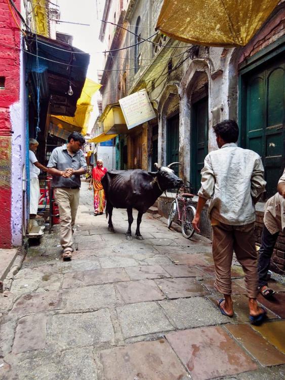Kuh in Varanasi