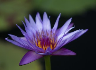Blue water lily (1 of 1) copy