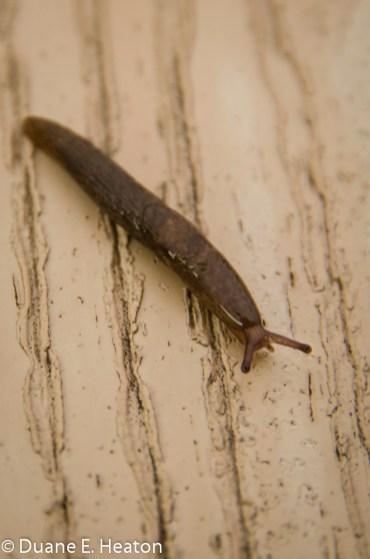 dheaton - Slug on Boardwalk