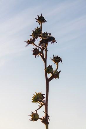 Danada Prairie Flower Stalk