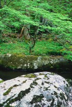 An American Hornbeam grows along the banks of the Middle Prong of the Little River, Great Smoky Mountains National Park