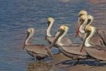Lima+20+Pelicans+Little+Estero+Bay+s