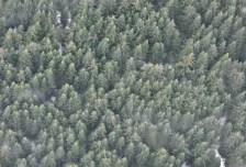 Pine Forest from Peak to Peak Gondola