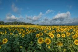 Sunflowers and nice sky